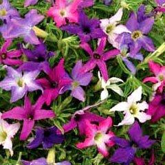 Flower Seeds - Petunia Sparklers