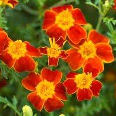 Flower Seeds - Marigold(Tagetes) Paprika