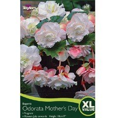 Spring Bulbs - Begonia Odorata Mothers Day