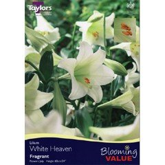 Spring Bulbs - Lilium White Heaven 5 Pack