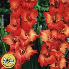 Spring Bulbs - Gladioli Africa 10 Bulbs