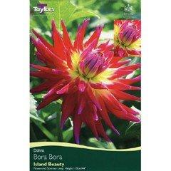 Spring Bulbs - Cactus Dahlia - Bora Bora