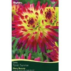 Spring Bulbs - Cactus Dahlia - Tahiti Sunrise