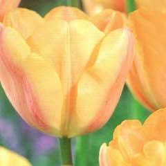 Autumn Bulbs - Tulips Apricot Foxx - 7 bulbs