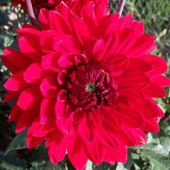 Spring Bulbs - Dahlia - Garden Wonder