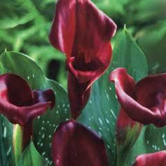 Spring Bulbs - Zantedeschia - Majestic Red