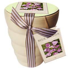 Spring Bulbs - Blue Freesia Flowering Gift Pot