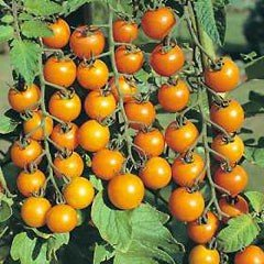 Tomato Sungold F1 Hybrid Seeds