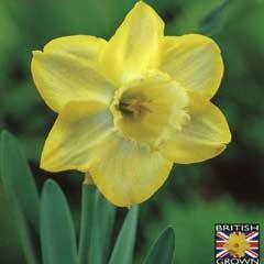 Autumn Bulbs - Daffodil Binkie x 5