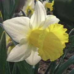 Autumn Bulbs - Daffodil Anniversary Gift x 5