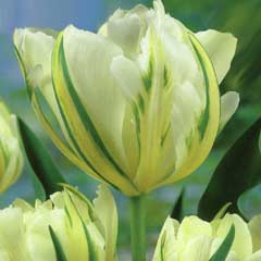 Taylors Tulip Exotic Emperor - 7 Bulbs