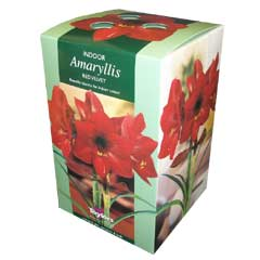 Autumn Bulbs - Red Velvet Amaryllis Gift Pack 1 Bulb