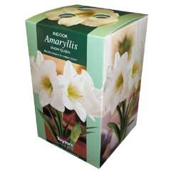 Autumn Bulbs - Amaryllis Snow Queen Gift Pack 1 Bulb