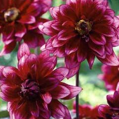 Spring Bulbs - Dahlia Darkarin 2 Tubers