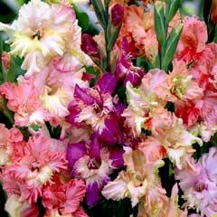 Spring Bulbs - Gladioli Frizzled Fusion 30 Bulbs