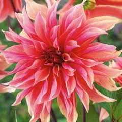Spring Bulbs - Dahlia Labyrinth 1 Tuber