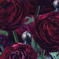 Spring Bulbs - Ranunculus Purple Heart 12 Bulbs
