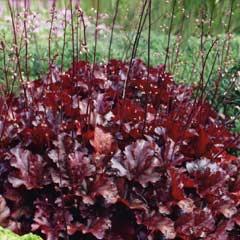 Spring Bulbs - Heuchera Melting Fire 1 Crown