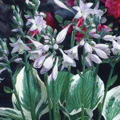 Spring Bulbs - Hosta Fortunei Patriot 1 Root