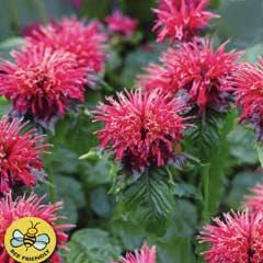 Spring Bulbs - Monarda Mahogany 1 Root