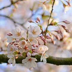 Outdoor Canvas - Spring Blossom - 59 x 59cm
