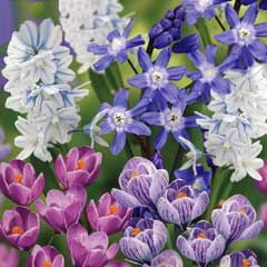 Taylors Early Flowering Collection - 150 Bulbs
