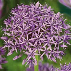 Taylors Allium Violet Beauty 7 Bulbs