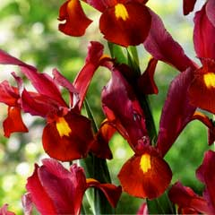Taylors Iris Red Ember 10 Bulbs