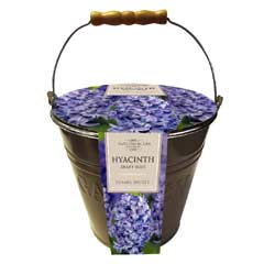 Taylors Outdoor Metal Bucket Planter - Hyacinth Delft Blue Bulbs x 4