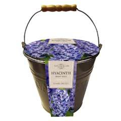 Taylors Outdoor Metal Bucket Planter - Hyacinth Delft Blue Bulbs x 4
