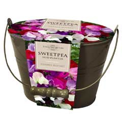 Taylors Metal Bucket Planter - Sweet Pea Miniature Sweetheart Mix Seeds