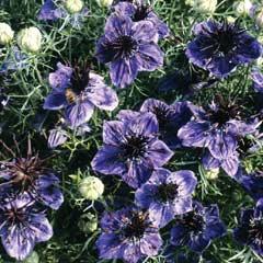 Thompson & Morgan Nigella Midnight Flower Seeds